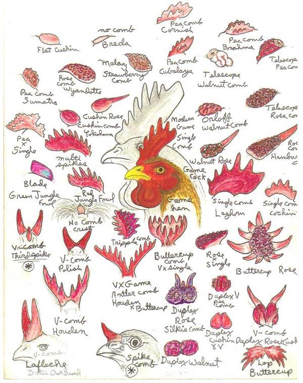 Le tantissime varietà di creste di galli e galline