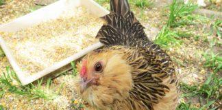Barbuta d'Anversa, una razza nana vivace e affettuosa | Tuttosullegalline.it
