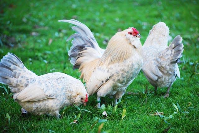 esemplari di Barbuta d'Anversa a pascolare sul prato