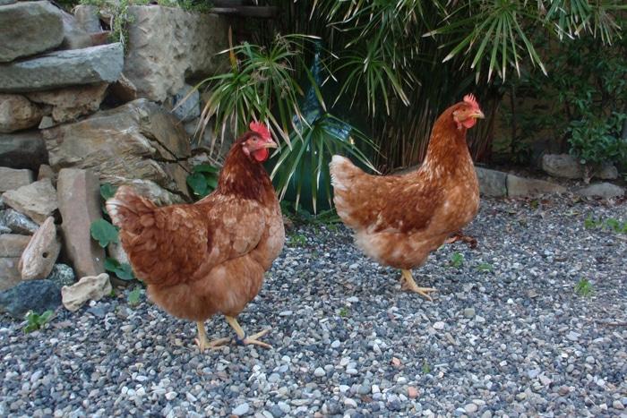 Omaggio a Guerra e Pace; le prime due galline urbane di Tutto Sulle Galline