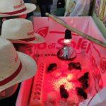 Dall'uovo al pulcino, un progetto didattico a cura di Nicola Caria (ASAO) | Tuttosullegalline.it