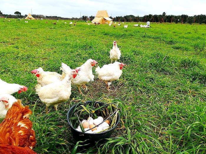 Le galline che ancora portano segni visibili del loro vissuto nei grandi allevamenti