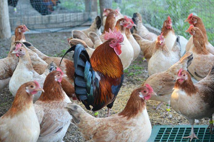 La Gallina Mugellese, gruppo di femmine con gallo