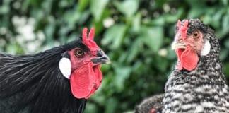 La Flèche, razza avicola francese dalla caratteristica cresta a cornetti | Tuttosullegalline.it