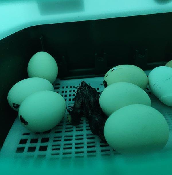 Primo pulcino che nasce