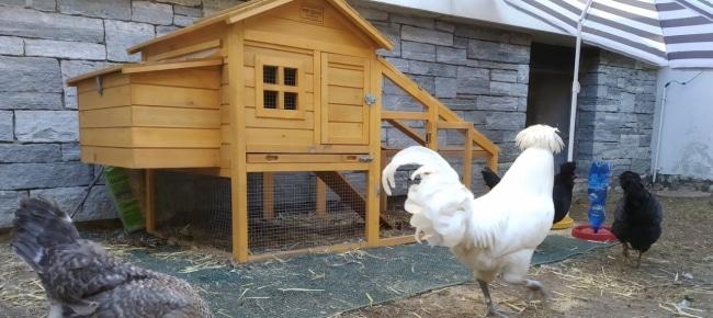 Il pollaio nella scuola di Solduno