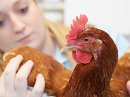 Veterinari per galline, esperti nella cura degli avicoli (da allevamento e compagnia) | Tuttosullegalline.it