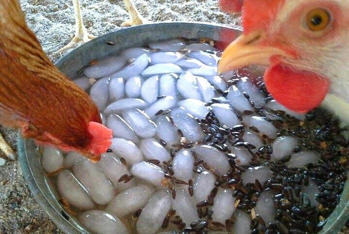 Acqua con ghiaccio per le galline