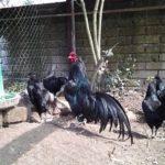 Il Canto del Gallo | Allevamento galline ornamentali e ovaiole