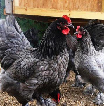 Croad Langshan: una tra le più antiche razze avicole originarie della Cina | Tuttosullegalline.it