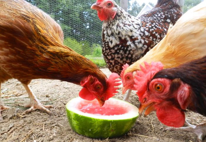 Alimentazione per le galline adeguata per la stagione estiva