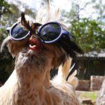 Pollaio in estate: le galline soffrono il caldo; ecco cosa fare | Tuttosullegalline.it