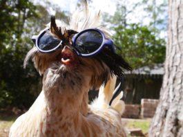 Pollaio in estate: le galline soffrono il caldo; ecco cosa fare   Tuttosullegalline.it