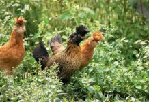 La gallina Tirolese ciuffata (NeoTirolese – Tirolerhuhn) | Tuttosullegalline.it