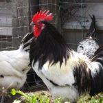 Norme generali di allevamento professionale per il benessere delle galline