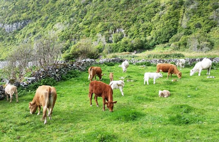 Pascolo di mucche e vitellini free-range a Flores (Azzorre)