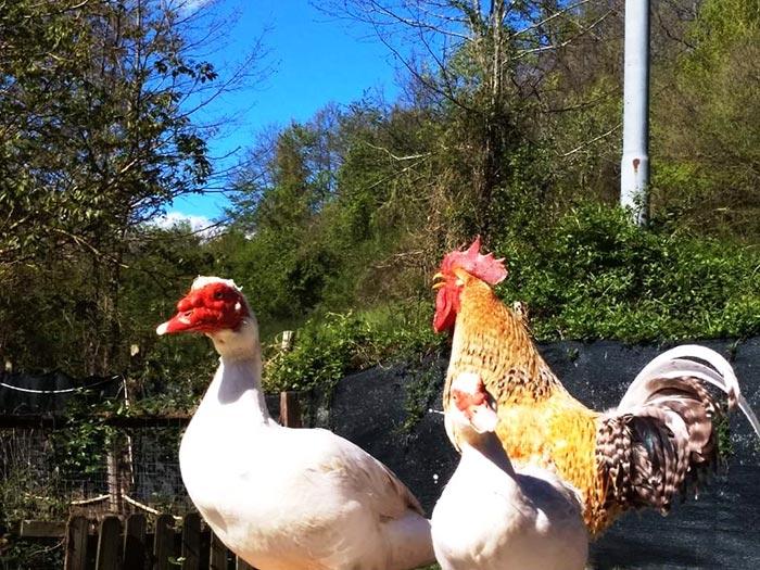 Fattori scatenanti che possono far insorgere patologie negli avicoli