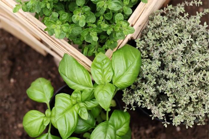 Erbe aromatiche da giardino: basilico, timo e origano