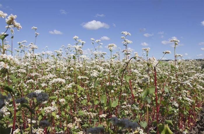 La fioritura dei campi di grano saraceno in Bretagna