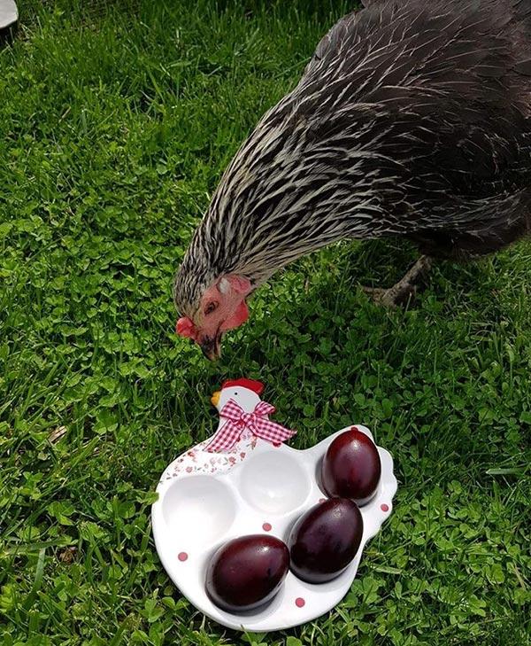 Le galline secondo Claudia Ilie