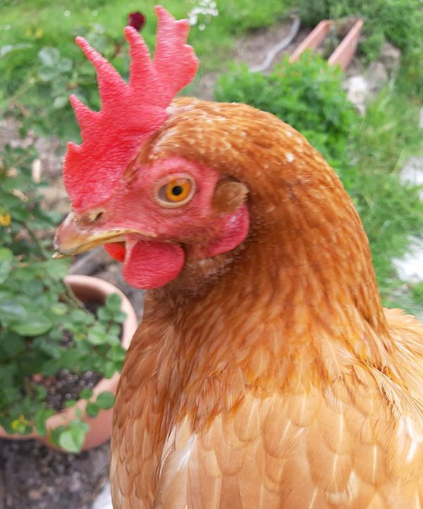 Le galline secondo Stefania Garibaldi