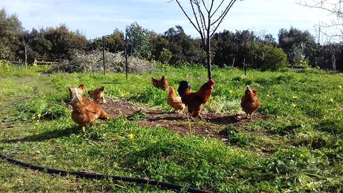 Le galline e il gallo Achille che razzolano libere nel prato