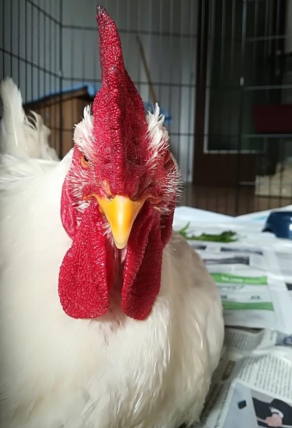 Pollo affetto da micoplasma