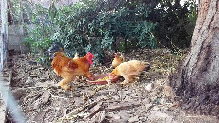 Il primo giorno del primo pollaio