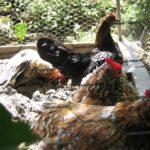 Terra di Diatomee: pro e contro del suo utilizzo nel pollaio | Tuttosullegalline.it