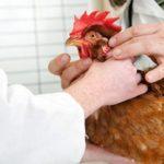 Pseudopeste aviare (Malattia di Newcastle): come vaccinare le galline | Tuttosullegalline.it