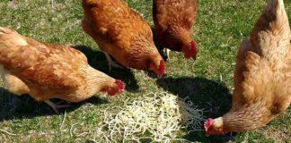 Video divertenti di galline che mangiano spaghetti | Tuttosullegalline.it