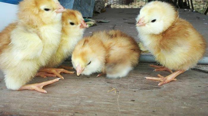 Happy Hens Farm, allevamento galline ornamentali (Sicilia)