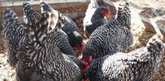 Mangime per galline fai da te: la guida completa per prepararlo in casa | Tuttosullegalline.it