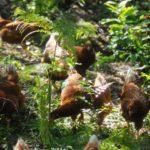 Uovo di selva: allevamento bio di galline ovaiole in un bosco di castagni | Tuttosullegalline.it