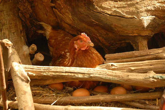 Uovo di selva, gallina depone uovo in nido naturale nel bosco