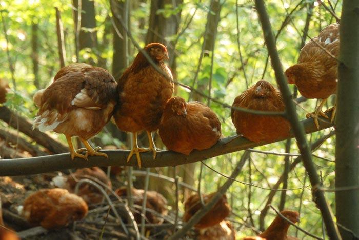Uovo di selva, galline appollaiate sui rami di castagno