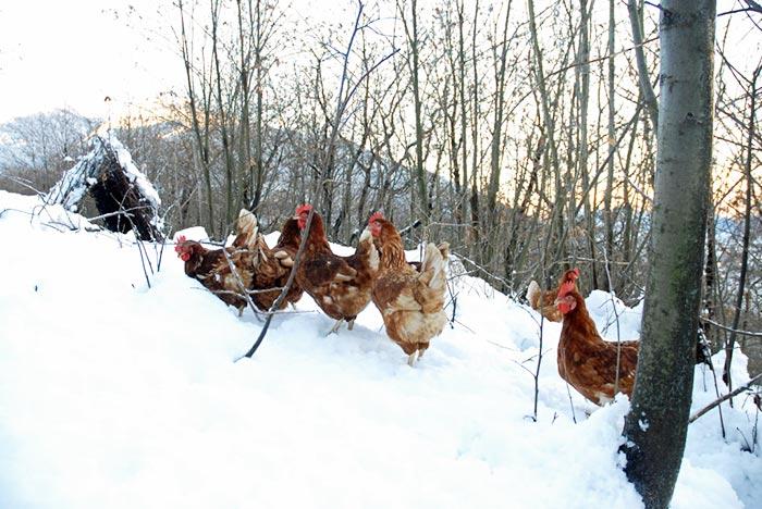 Uovo di selva, galline nel bosco con la neve