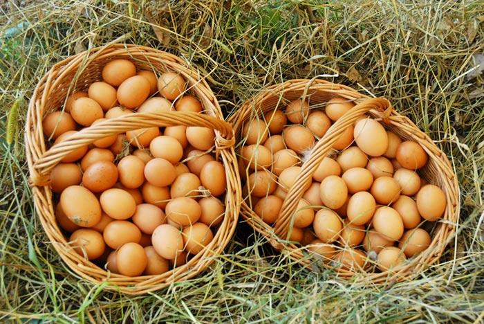 Uovo di selva, raccolta a mano delle uova nel bosco