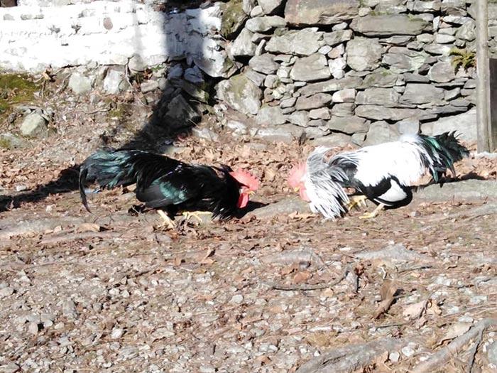 Combattimento tra galli, Cascina gallinara