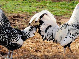 Dimorfismo sessuale tra gallo e gallina | Tuttosullegalline.it