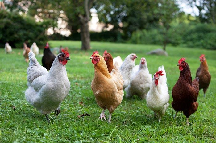 Come allevare al meglio le galline