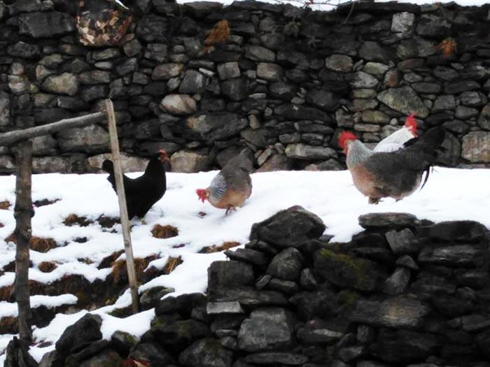 Polli razza Livorno sulla neve a Cascina Gallinara