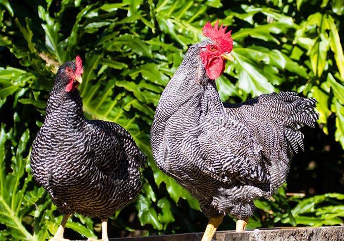Plymouth Rock, gallina e gallo (esempio di dimorfismo sessuale sul piumaggio barrato)
