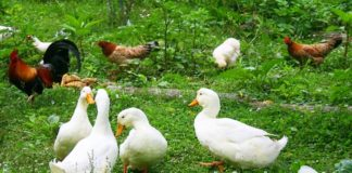 Differenze di allevamento tra galline, anatre, oche, faraone e tacchini | Tuttosullegalline.it