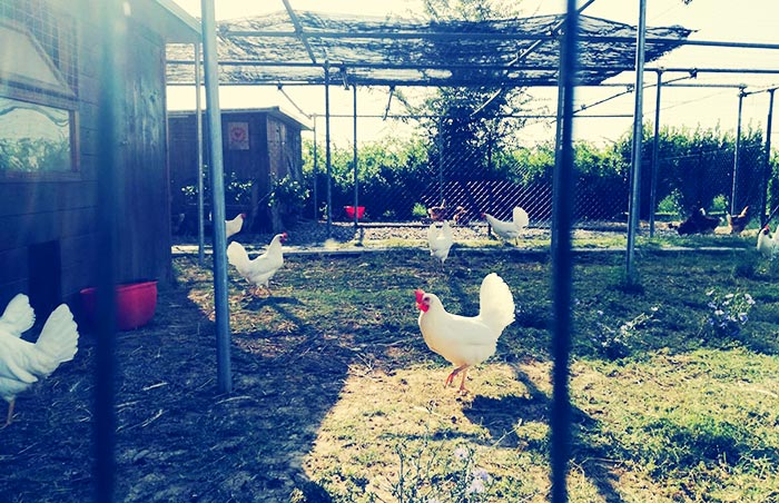 Pollaio Sociale, recinto galline ovaiole livornesi bianche