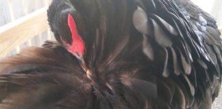 L'uropigio nella gallina: cos'è e quale importante funzione svolge | Tuttosullegalline.it