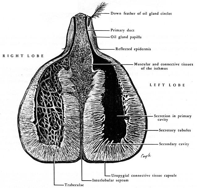 Ghiandola dell'uropigio (sezione frontale)