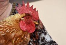 Da gallina a gallo: come e perché avviene l'inversione sessuale spontanea
