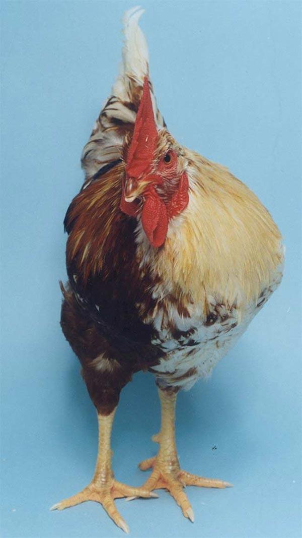 Esempio di ginandromofismo gallo / gallina