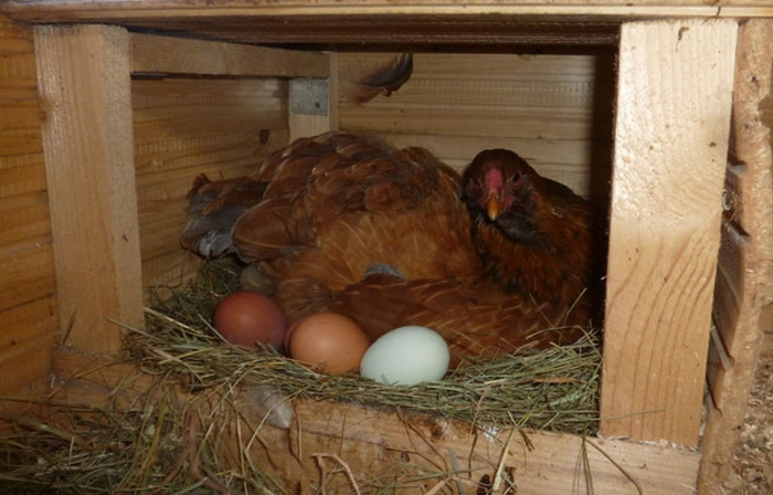 Gallina che depone le uova nel nido